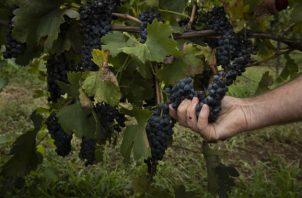 Iain Riggs, en Brokenwood Wines, se ha visto obligado a dejar uvas en la vid por contaminación de humo. Foto / Matthew Abbott para The New York Times.