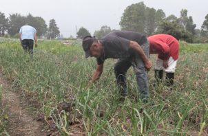 Hay un contingente de 2.3 millones de quintales de arroz en cáscara, para cubrir los meses de junio, julio, agosto y septiembre. Foto: Archivo
