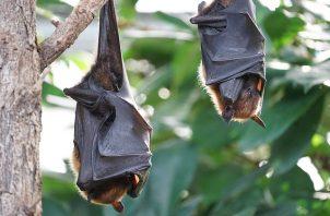 Murciélagos. Por temor al coronavirus en Perú quemaron cientos. Pero,  el 70 %de las especies se alimentan de insectos, muchos nocivos para la agricultura y  la salud humana como los mosquitos transmisores del dengue. Foto: Pixabay