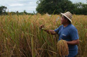 A finales del mes de abril se le pagará a los productores de arroz. Foto/Archivo