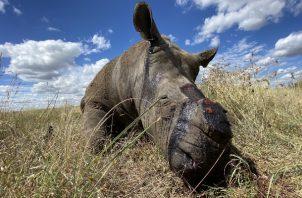 Al menos 9 rinocerontes han sido cazados desde que Sudáfrica se aisló. Foto / Nico Jacobs.