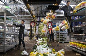 Unos 400 millones de flores, incluyendo 140 millones de tulipanes, fueron destruidos el mes pasado. Foto / Ilvy Njiokiktjien para The New York Times.