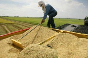 En el período agrícola 2019-2020, en Coclé se sembraron 9 mil 312 hectáreas y se cosechó 818 mil 463 quintales de arroz.
