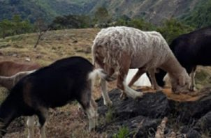 Las cabras que mataron estaban recién paridas.