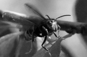 El avispón asiático gigante afecta seriamente a las abejas porque invade y aniquila los miembros de las colmenas. Foto: EFE.