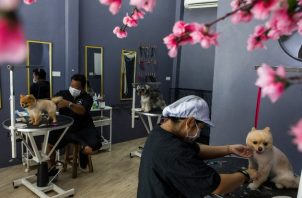 Perros de pedigrí son populares en Tailandia. Los pomeranias Magnum y Mónica, y Honey, una schnauzer, reciben cortes en Modern Dog Grooming and School, en Bangkok. Foto / Amanda Mustard para The New York Times.