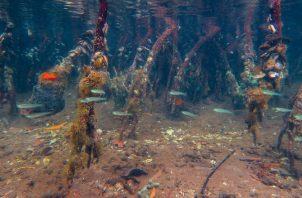 En este estudio utilizando ADN ambiental, los científicos descubrieron que los manglares tenían la mayor cantidad de biodiversidad. Cortesía/ Elaine Shen