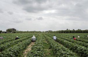 Los efectos económicos de la pandemia impulsan a muchos a buscar empleos agrícolas. Pizcando fresas en Ferrara. Foto/ Alessandro Grassani para The New York Times.