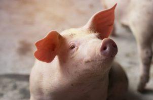 El cerdo es una especie animal que comparte similitudes con el ser humano.