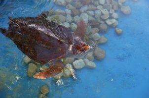 Se trata de una tortuga cuya especie está amenazada. Foto: Archivo/Ilustrativa.