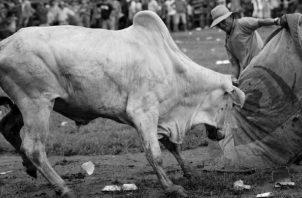"""Un aficionado participa en una corrida de toros en la Plaza """"José Nicomedes Barrios"""", durante el LXIX Festival Nacional de La Mejorana en Guararé el 28 de septiembre de 2019. Foto: EFE."""