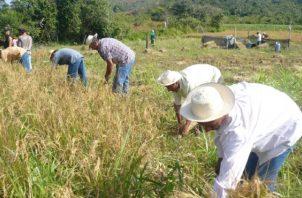 Del total sembrado de arroz, el 92% está en secado.