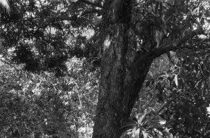 Cuando se corta o tala un árbol se acaba con miles, hasta millones de vidas, imagínese una hectárea de bosque en Panamá. Cortar un árbol es borrar la historia de vida de la naturaleza. Foto: Cortesía.