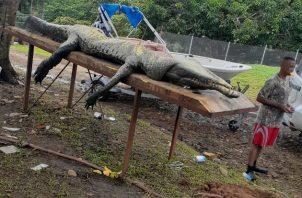 Se calcula que el animal media cerca de tres metros de largo, y se estima que un adulto podría medir hasta cinco metros de largo.