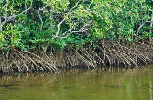 El mangle representa menos del 1% de los bosques tropicales. ILUSTRATIVA / PIXABAY