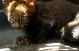El felino permanece en custodia de MiAmbiente, de donde será liberado en un hábitat seguro. Fotos: Mayra Madrid.