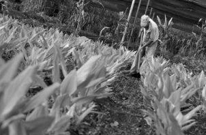 Los productos orgánicos incluyen hortalizas, flores, fibras, frutas, cereales, legumbres, plantas medicinales, especias, así como productos pecuarios. Foto: Archivo.