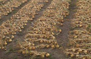 En Panamá, se estima un consumo de unos 50 mil quintales de cebolla al mes. Foto/Cortesía