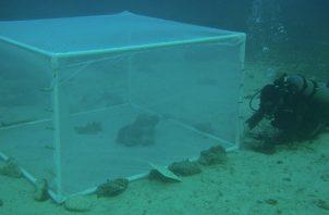 Colocaron un hambriento pez león dentro de recintos artificiales. Foto: Amelia Ritger