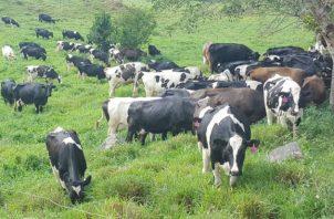Ganaderos piden parar la importación de productos lácteos desde Costa Rica. Fotos: José Vásquez.