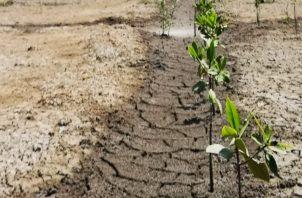El árbol de mangle soporta tanto el agua dulce y salada. Foto: Cortesía