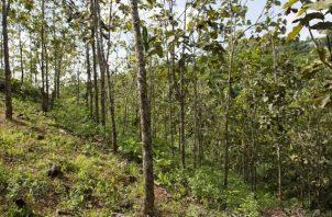 Plantación de teca del proyecto Agua Salud. Foto: Jorge Alemán