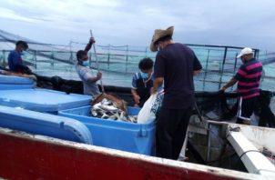EL pescado azul (pámpano), se produce con procesos ambientales y sostenibles. Fotos: Cortesía.