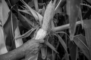 Con las granjas de producción sostenible se les enseña, a los pequeños productores de la tierra y obreros, técnicas adecuadas para que en sus propias manos esté la solución a sus problemas. Foto: EFE.