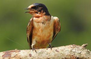 El Primer Encuentro Nacional de Observadores de Aves de Panamá fue un éxito.