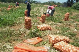 La producción nacional de cebolla es de alrededor de 27 mil quintales por mes.