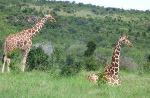 Una jirafa puede comer 75 libras de vegetación. DUNCAN KIMUYU