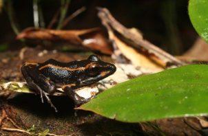 Las ranas del estudio se obtuvieron de Bocas del Toro y Panamá Oeste.