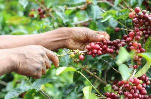 Los casos de desalojos se dieron en fincas cafeteras en Boquete, Chiriquí.