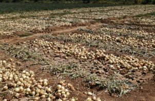 Se espera que para el próximo 17 de diciembre ya estén en Panamá los contenedores de cebolla para suplir al mercado nacional. Foto/Archivo
