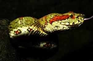 Se describen las especies venosas y comunes no venenosas. Foto: Serpientes de Panamá