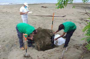 En la provincia de Los Santos, cada año se da el desove de miles de tortugas, entre los meses de julio a noviembre, ya que la especie busca estas cálidas y tranquilas aguas para dar origen a sus nuevas generaciones.