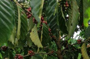 Este tipo de café bajo esta tecnología, se siembra en Chiapas México a través de la Empresa Nestlé con un plan que busca producir café robusto en tierras bajas.