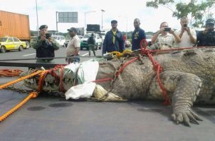 Se han extraído reptiles de más de 2 metros de largo. Foto: Diómedes Sánchez S.