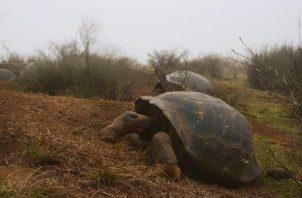 Dos tortugas Chelonoidis vandenburghi en la zona del volcán Alcedo, en las islas Galápagos