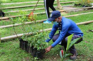 Alrededor de 10 mil plantones se sembrarán en el vivero de El Cacao, en Capira. Foto cortesía MiAmbiente