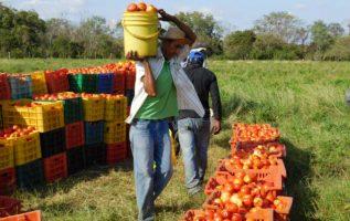 La producción de tomate más afectada es la de Tonosí.Foto: Zenaida Vásquez
