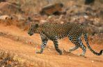 El personal de la escuela Vibgyor International en Bangalore, India, se llevó un susto cuando un leopardo atacó a las personas. EFE