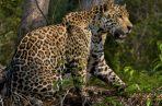 Investigan muerte de jaguar que se reproduce en redes sociales. Foto ilustrativa