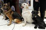 Un  Shepard Woolfie alemán (izq), un Labrador retrievers Lincoln (centro), y un Rummy posan en el Museo del Perro en New York. Foto: AP.
